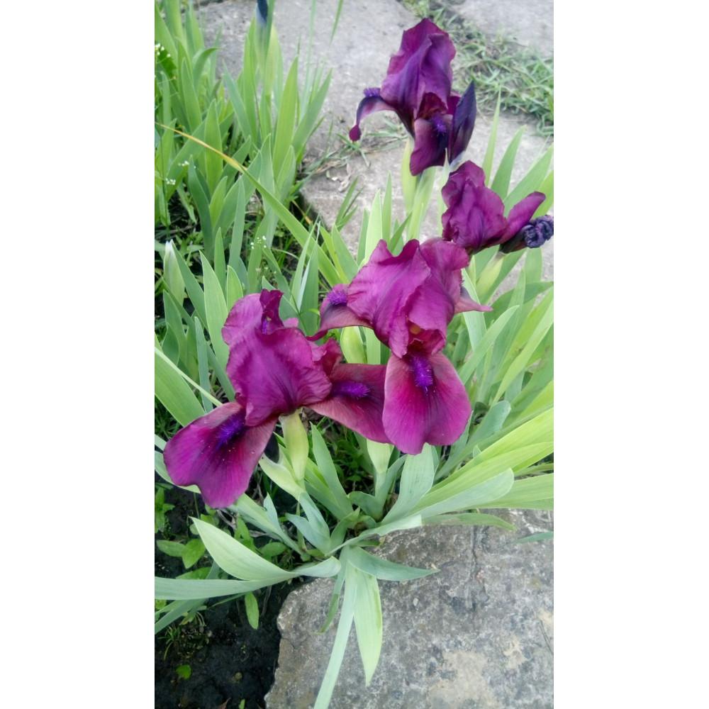 Border iris