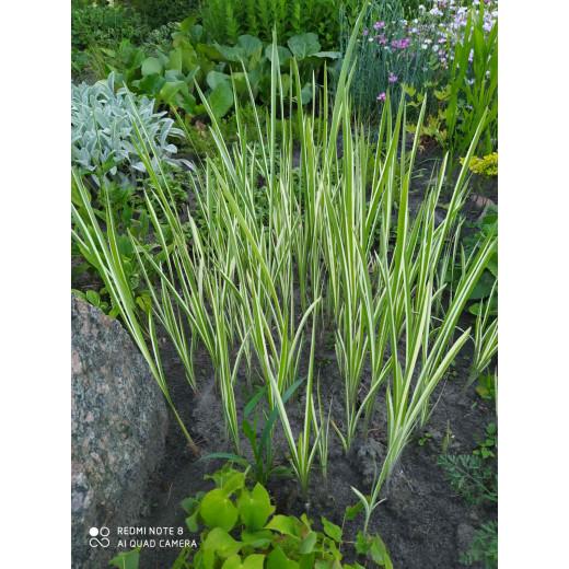 Calamus variegated