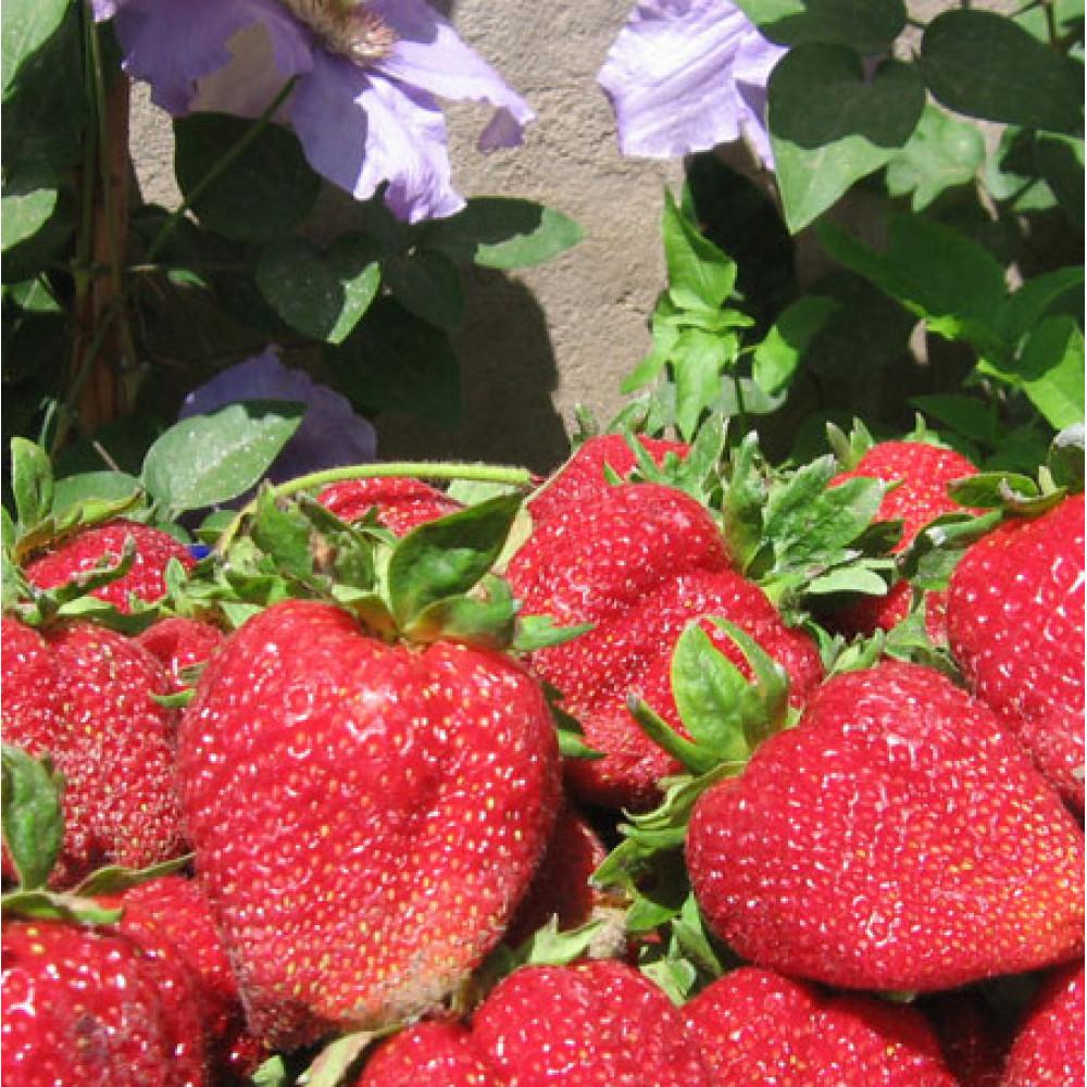 Strawberry Admiral