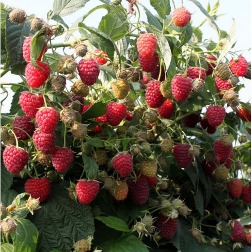 Raspberry Himbo-Top