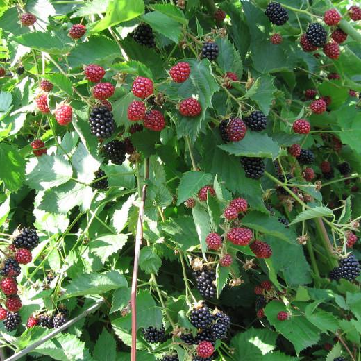 Blackberry Loch Tay