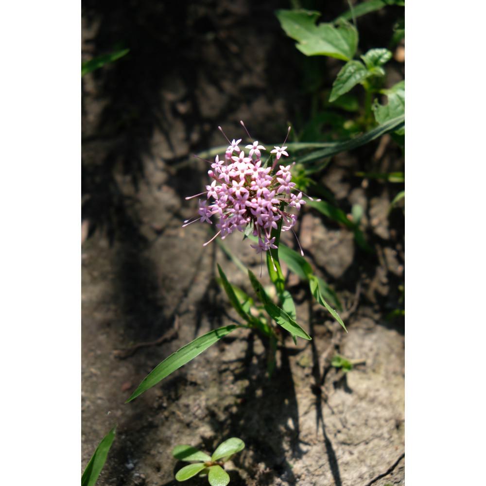 Phuopsis
