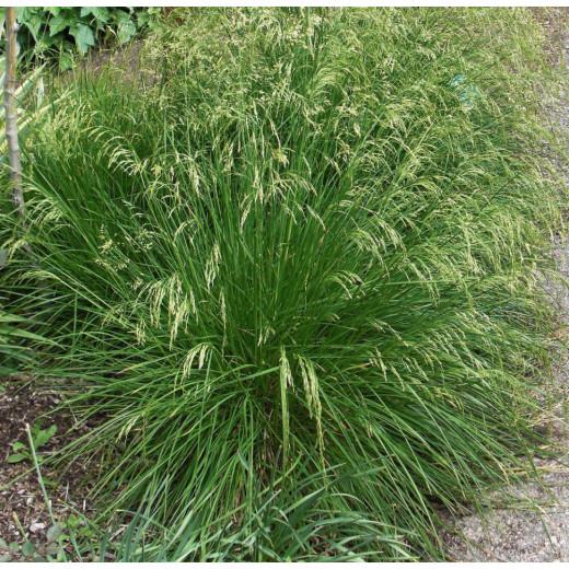 Tufted hair grass