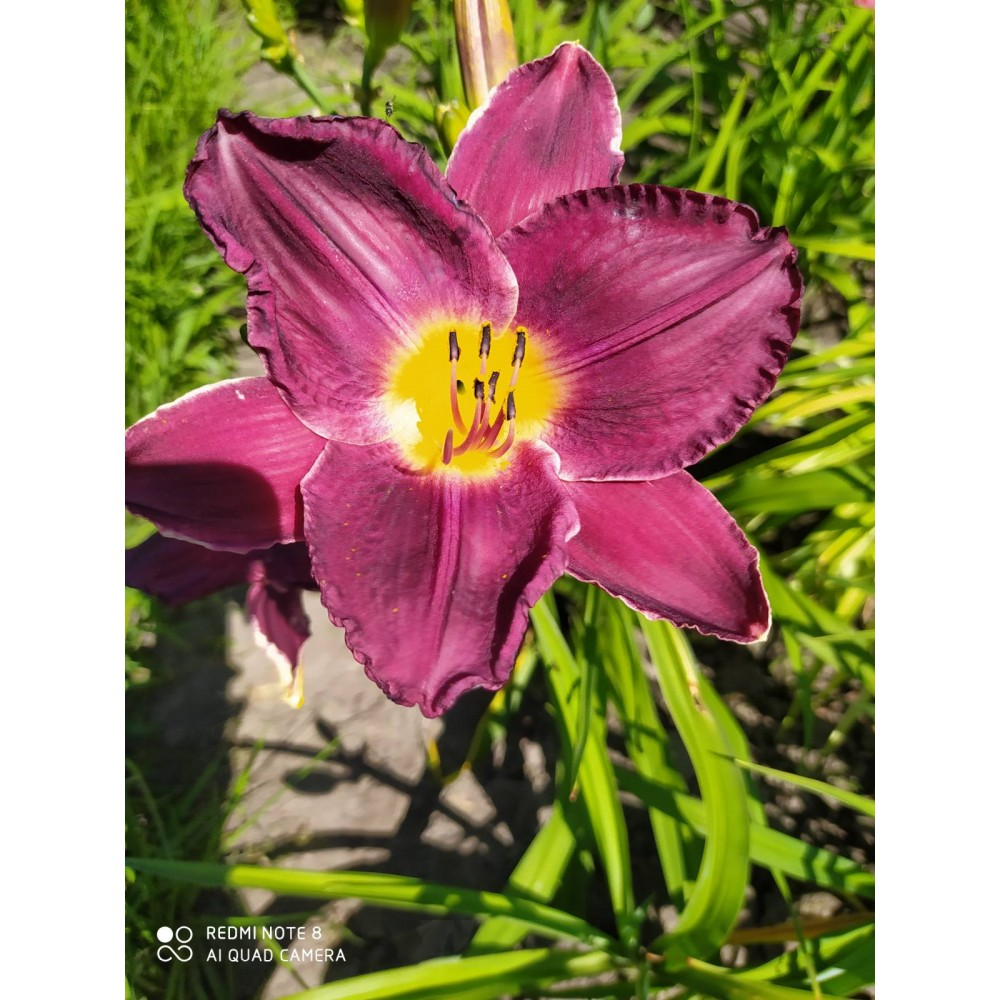 Day-lily